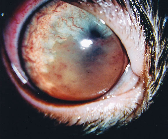 Feline Uveitis A Common Cause Of Glaucoma In Cats Happy