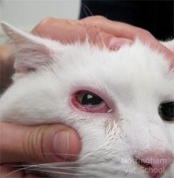 cat-conjunctivitis