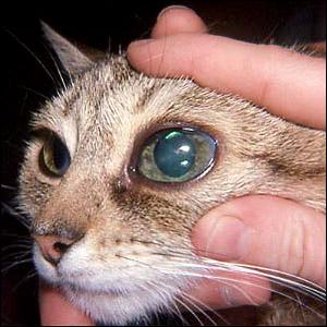 Treatment For Cataracts In Cats Eyes